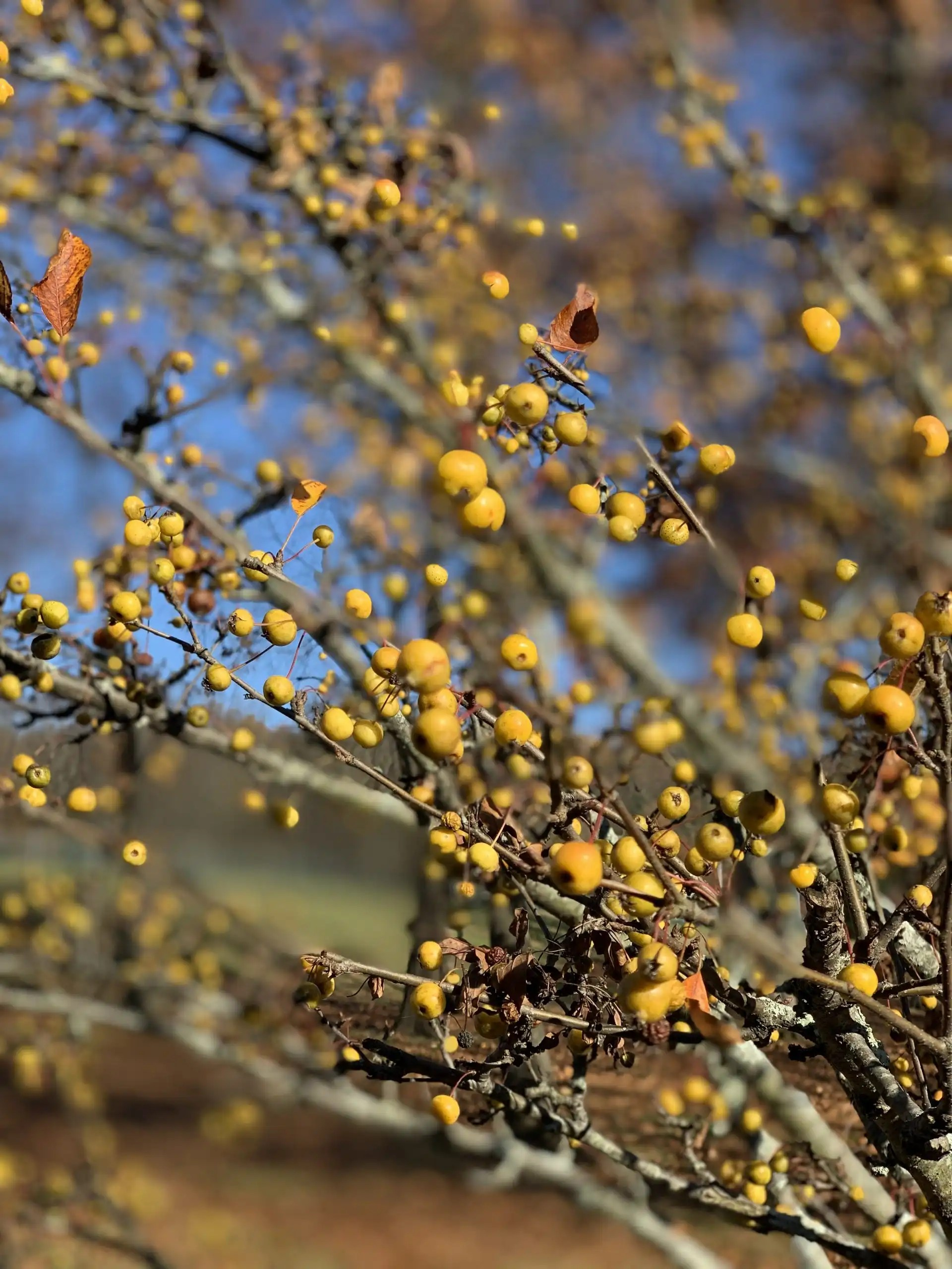 iPhone XS Max photography example: yellow berries on branches