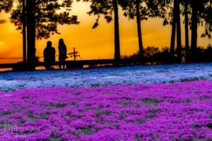 芝桜の丘(夕方)