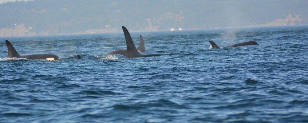 Islas-San-Juan-avistamiento-orcas