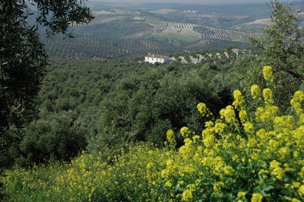 cortijo y olivar en la Gran Senda de Málaga