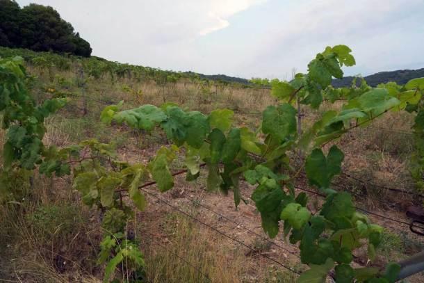 proyecto de recuperación de viñas en Alella