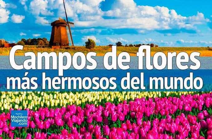 campos de flores mas hermosos