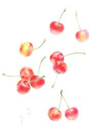 「桜桃」 望月麻里(鉛筆、色鉛筆)illustrated by Mari Mochizuki
