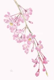 sold out「春・しだれ桜」望月麻里(鉛筆、色鉛筆)illustrated by Mari Mochizuki / サポサポ プロジェクト出品用
