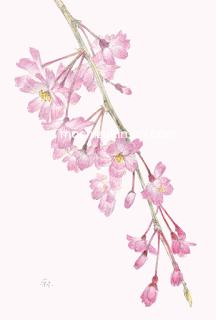 「春・しだれ桜」望月麻里(鉛筆、色鉛筆)素材:アラベール(画用紙のような質感)illustrated by Mari Mochizuki