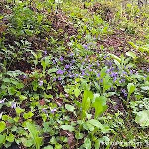 スミレの花をたずねて:裏磐梯へ