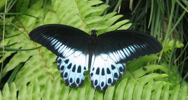 Asia's second largest butterfly