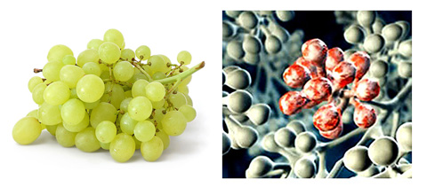 hyppocrates nutrition nourishing properties of grapes