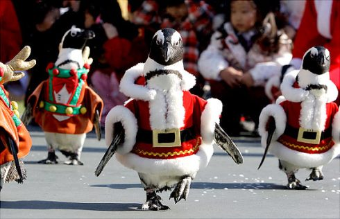 Penguins in Santa suits to welcome Christmas 6