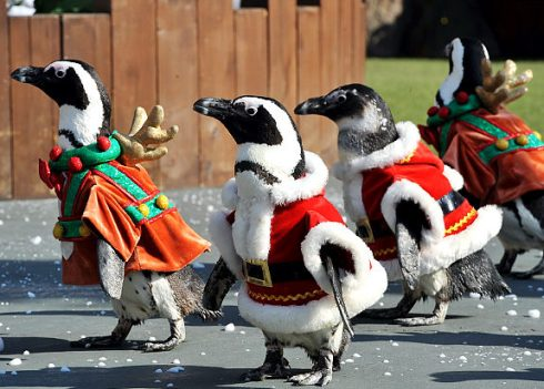 Penguins in Santa suits to welcome Christmas 9