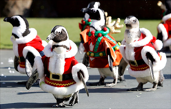Cute Or Cruel? Penguins In Santa Suits To Welcome