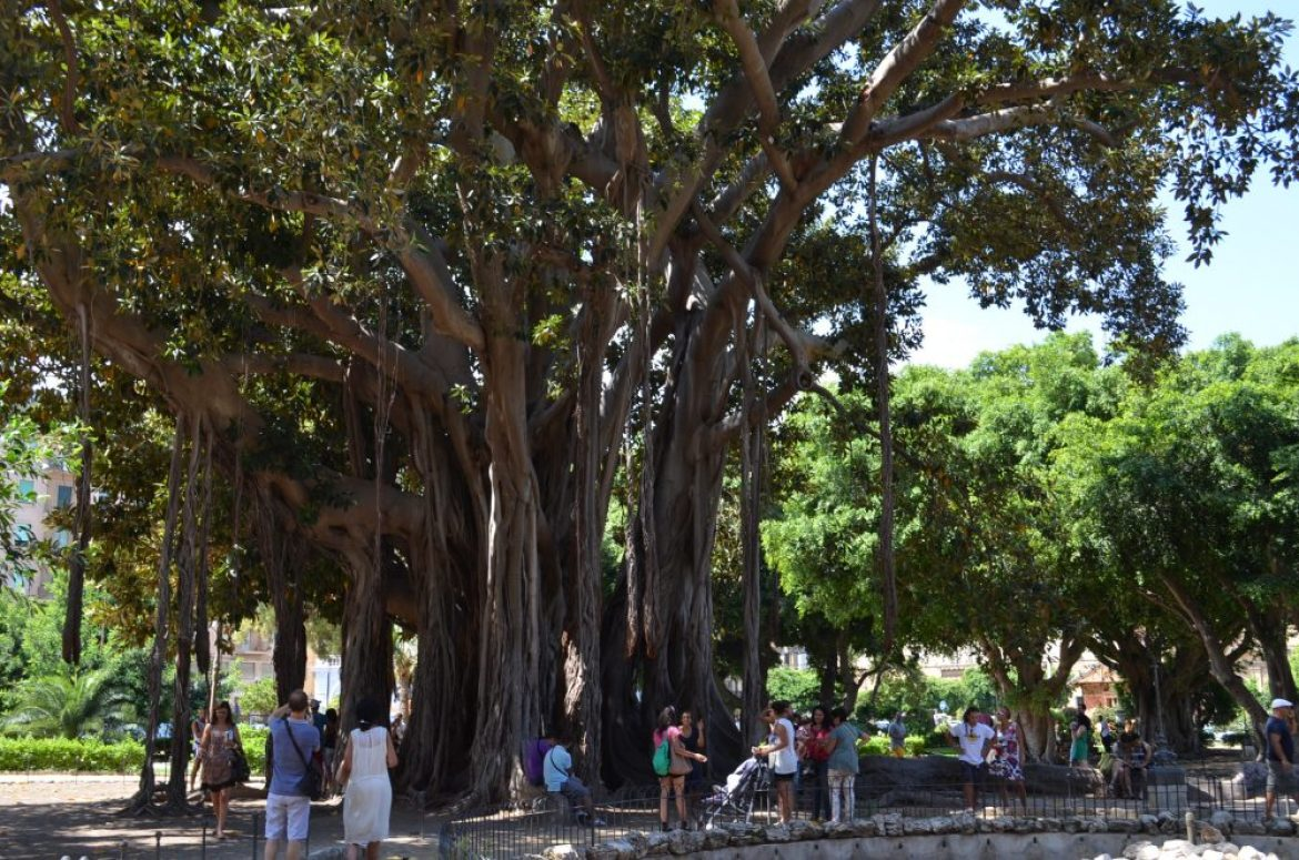oldest tree in Palermo