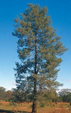 Murray Pine Cypress