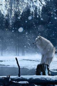 Un loup solitaire