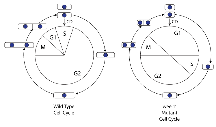 Mathematical model of the fission yeast cell cycle with