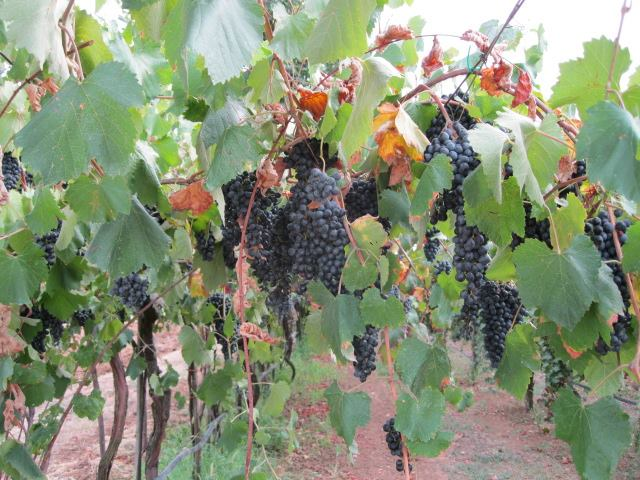 In una vigna quasi centenaria, in un vitigno piantato col metodo '' Bellucci '', il Lambrusco Grasparossa e' pronto da racogliere
