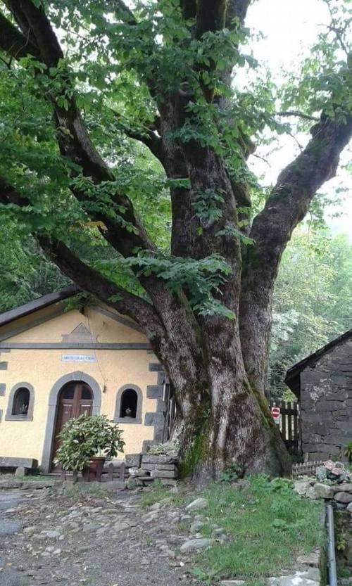 Olmo - Alberi