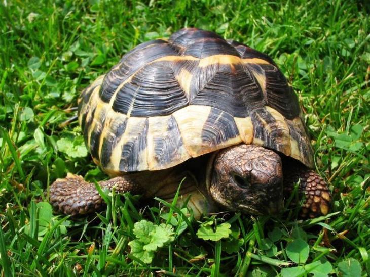 Tartaruga - Bessa
