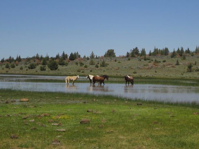 Wild horses like BLM land, too. We saw these guys in the Steens Mountain area in Eastern OR.