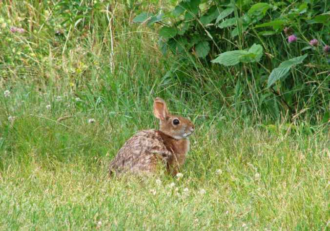 New_England_cottontail_rabbit_animal_sylvilagus_transitionalis