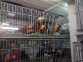 Cool multi-coloured birds in Belo Horizonte's Mercado Central