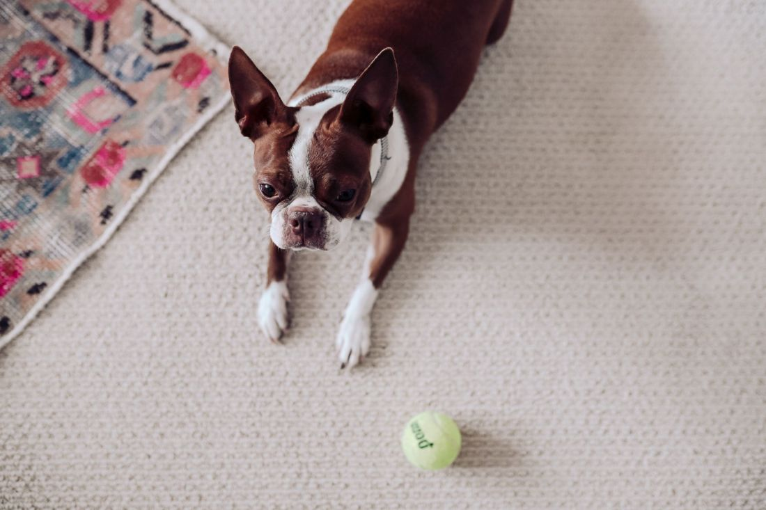 Carpet and Rug Institute by popular Nashville life and style blog, Modern Day Moguls: image of a dog sitting on the floor next to a Carpet and Rug Institute rug.