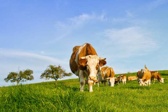 Cows on Meadow