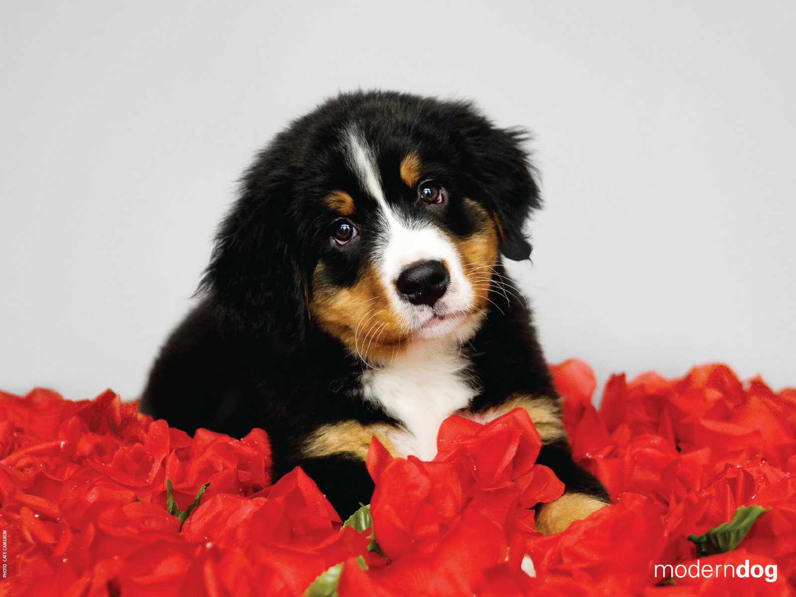 Very Cute Puppy Wallpapers Puppies Free Modern Dog Wallpaper Modern Dog Magazine