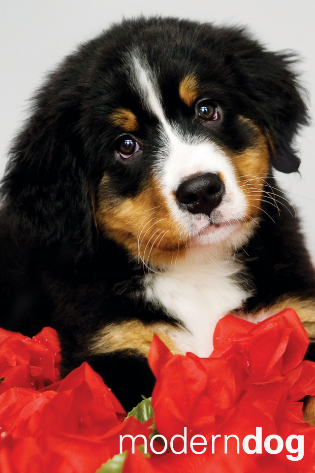 Cute Puppy Wallpapers For Iphone Puppies Free Modern Dog Wallpaper Modern Dog Magazine