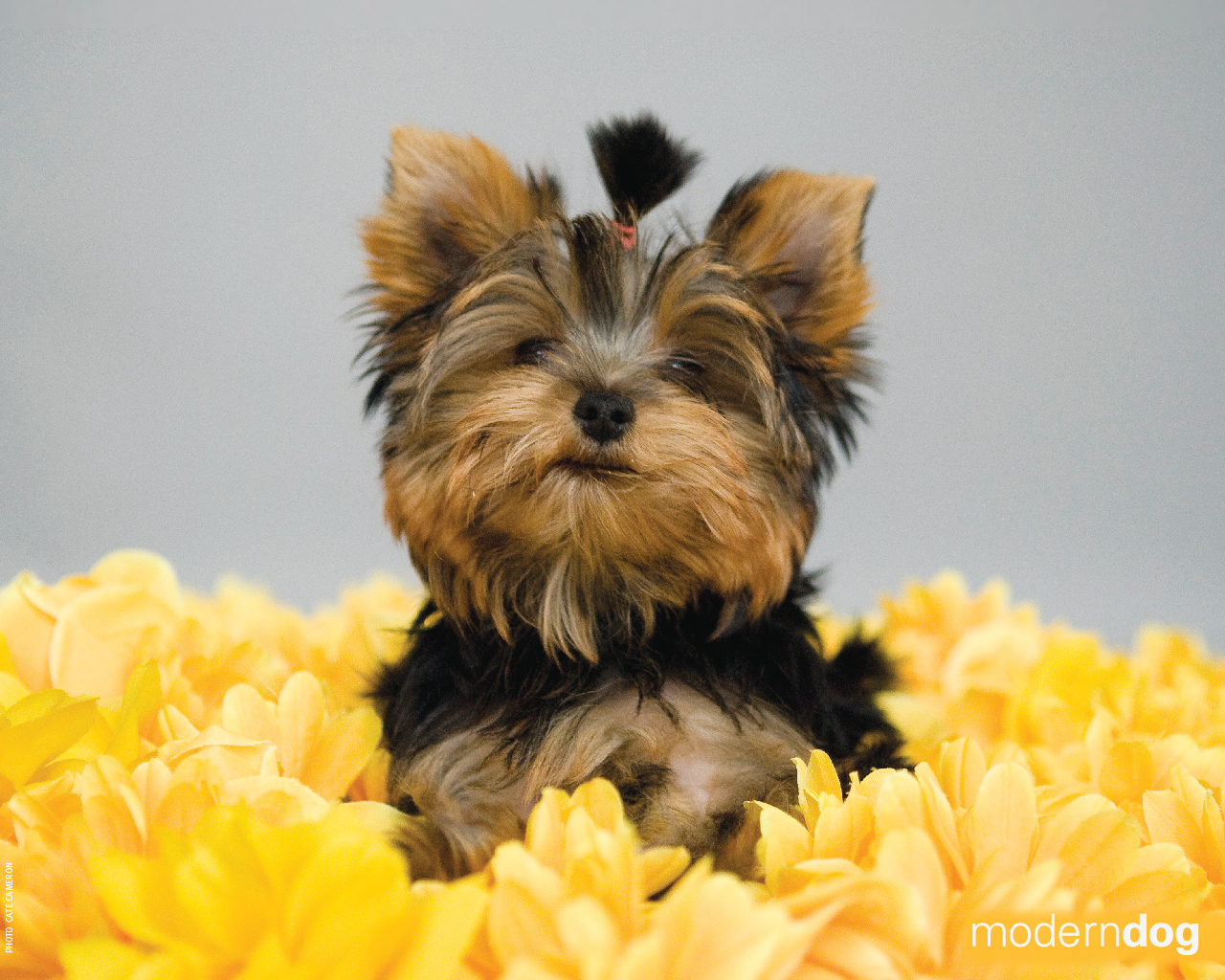 Cute Itouch Wallpapers Puppies Free Modern Dog Wallpaper Modern Dog Magazine