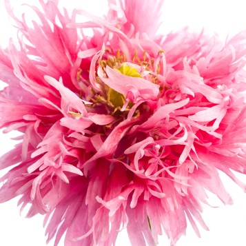 Pink Poppies-1