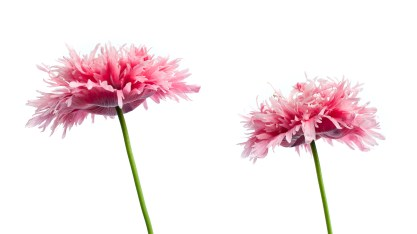 Pink Poppies-2