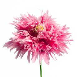 Pink Poppies-3