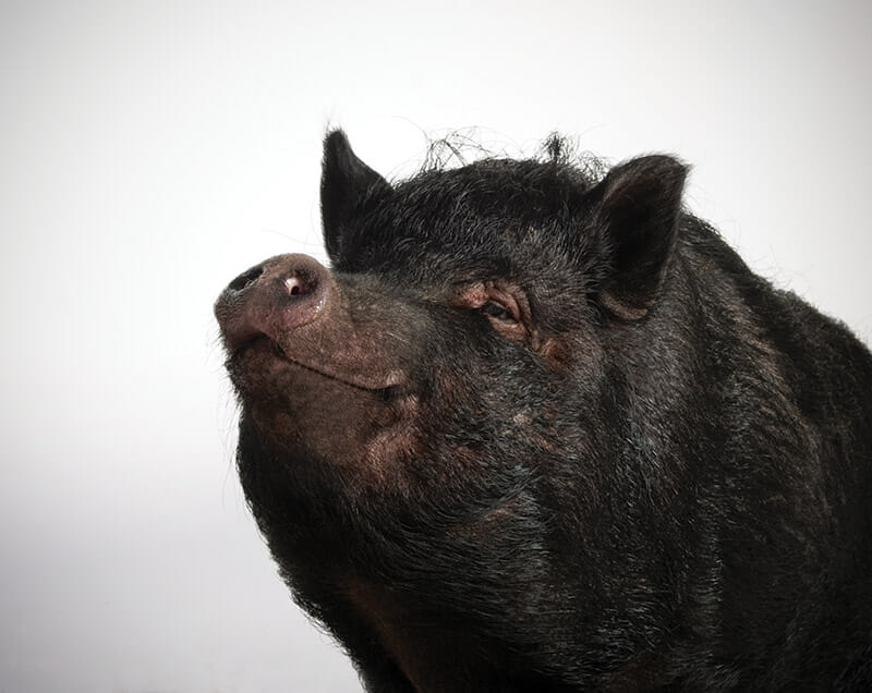 Which Pig Find Your Next Pig Thing  Modern Farmer