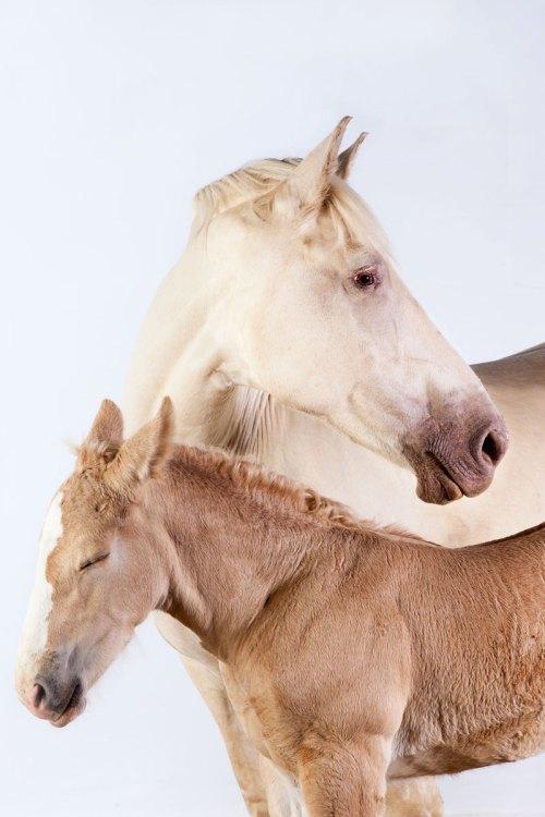 small resolution of draft horses american cream duo