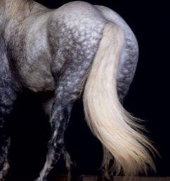 draft horses percheron tail [ 800 x 1200 Pixel ]