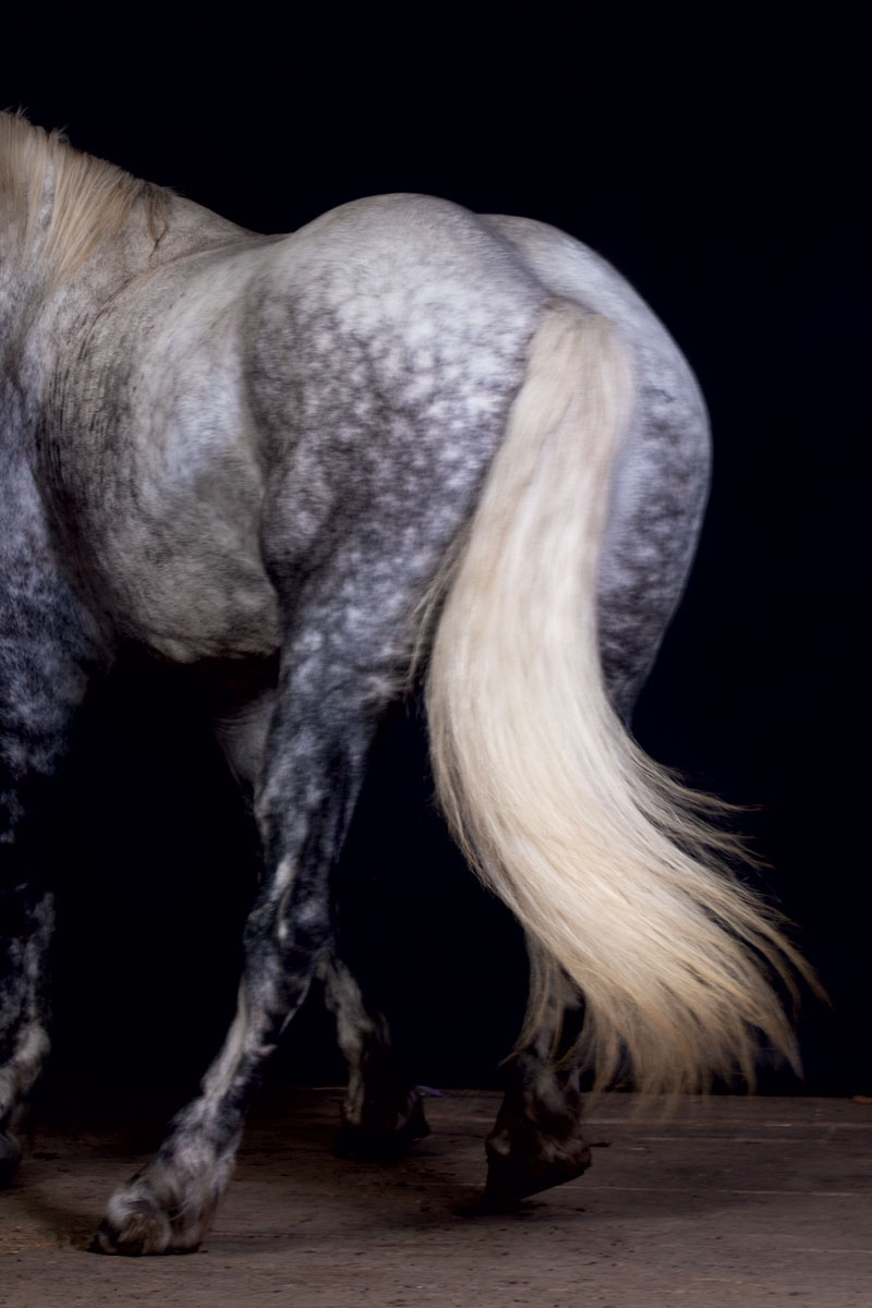 medium resolution of draft horses percheron tail