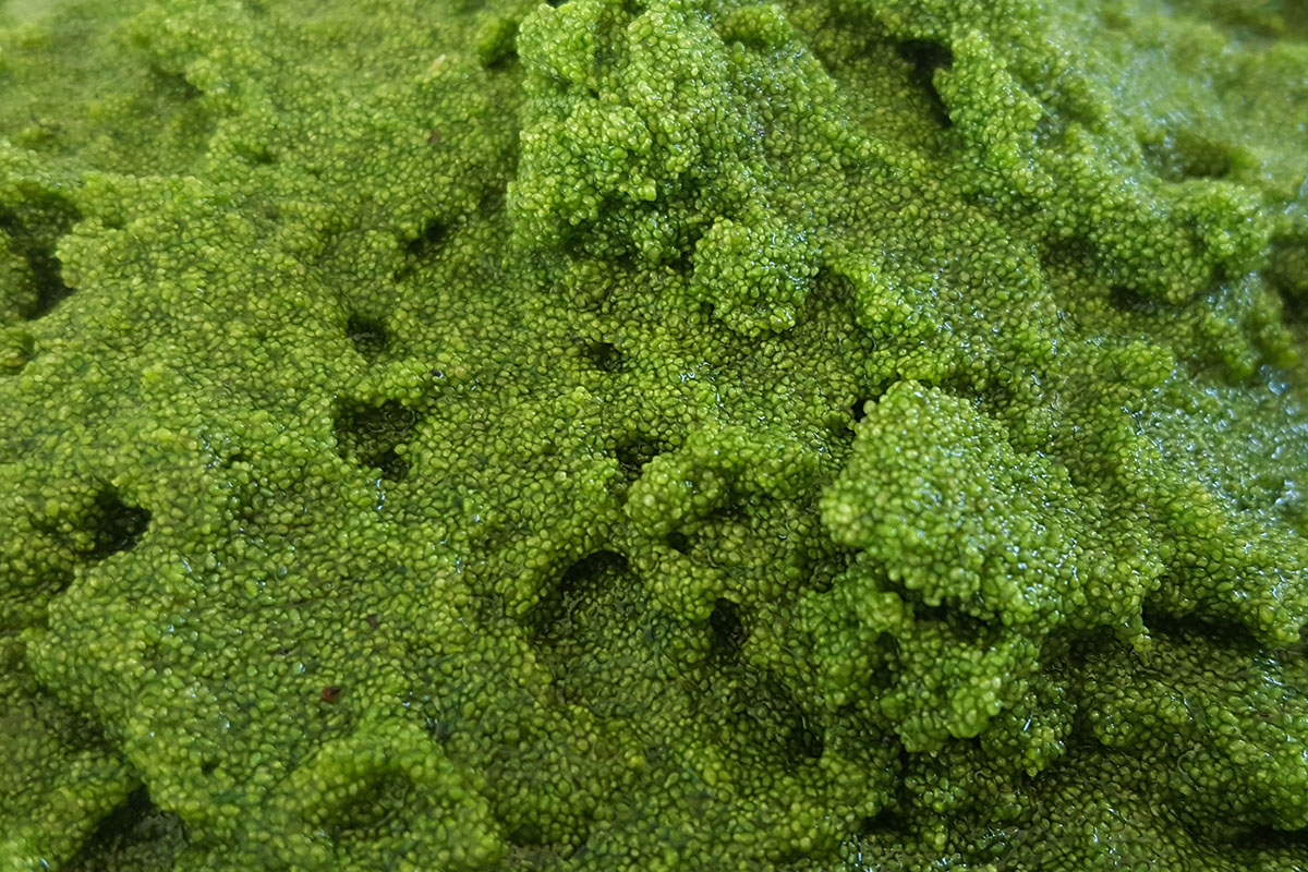 Could Algae Replace Grain in Cattle's Diet? - Modern Farmer