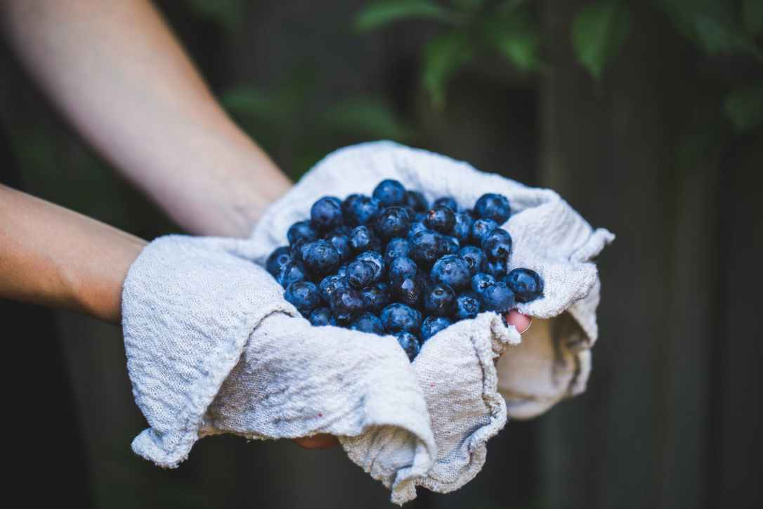 blueberry harvest in hands