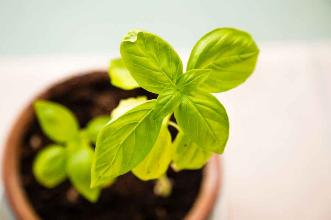 Basil plant growing in pot