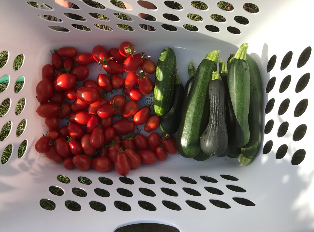 Zucchini and Roma Tomatoes just harvested in basket
