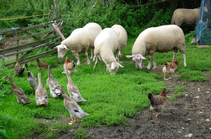 Pasture with sheep, chickens and ducks