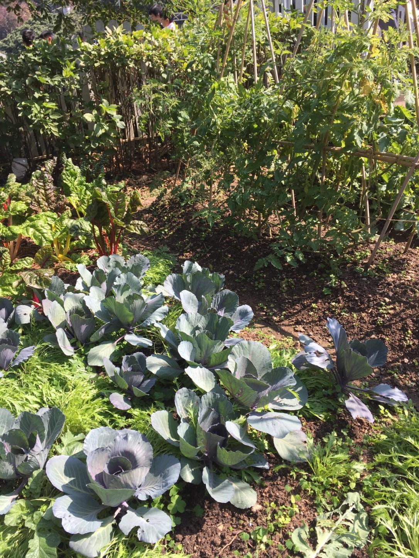 companion planting garden cabbage carrots swiss chard trellis