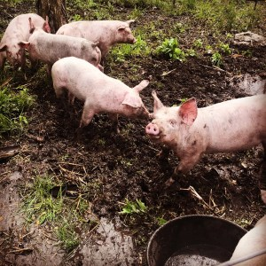 Yorkshire Landrace Cross Piglets