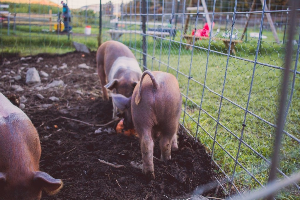 Pig Fencing