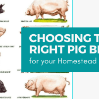 Choosing the Right Pig Breed for your Homestead