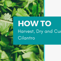 How to Harvest, Dry and Cure Cilantro
