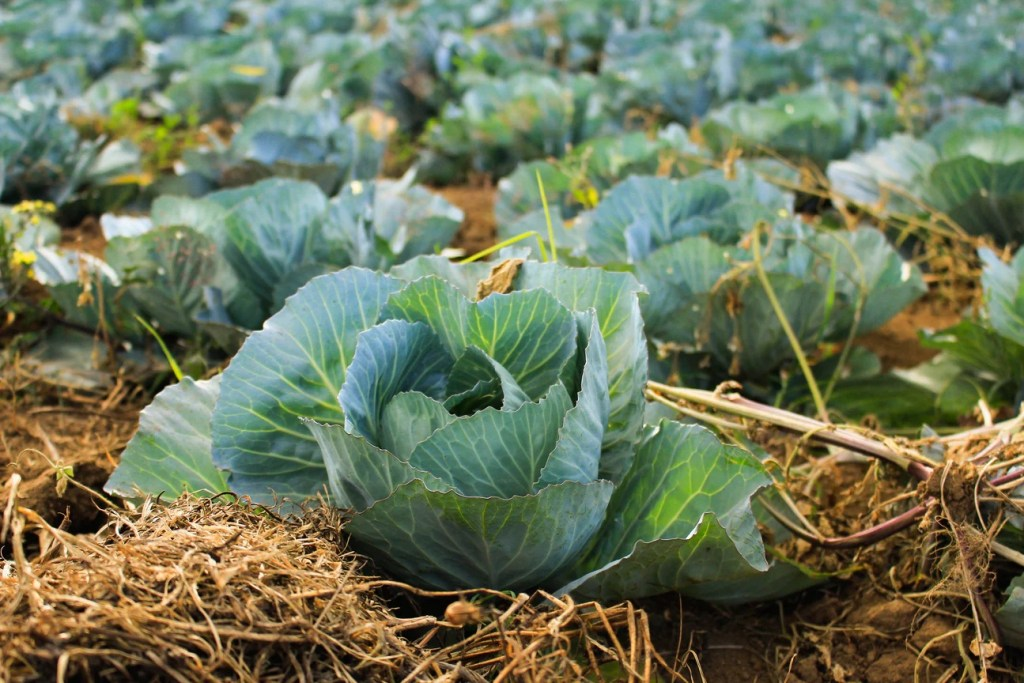 cabbages with mulch