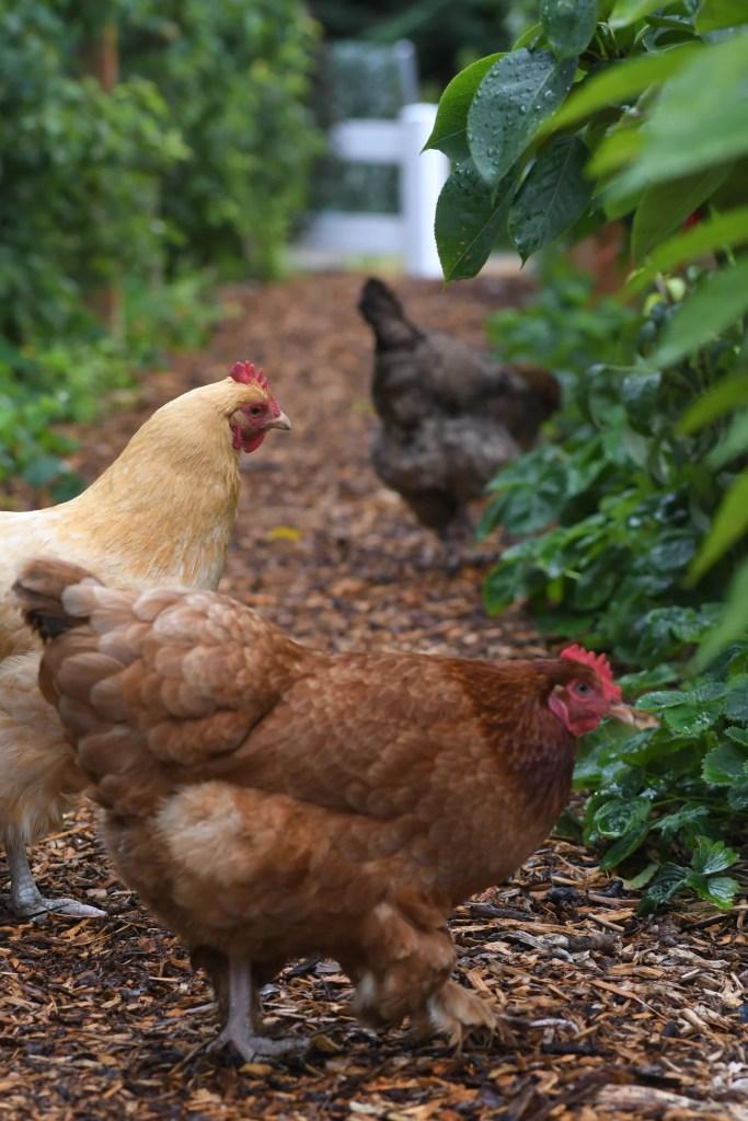 chickens in vegetable garden