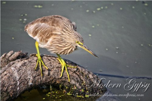 Pond Heron_Bharatpur Bird Sanctuary